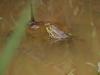 천안 업성저수지서 멸종위기 야생생물 '금개구리' 관찰