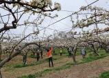천안농협, 성성동 과수농가 찾아 배 화접 봉사에 '구슬땀'